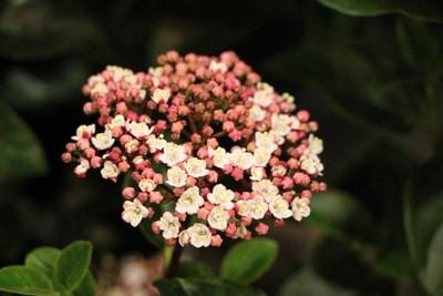 lorbeerblättriger schneeball viburnum titus