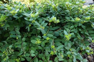 Immergrüne Heckenkirsche - Lonicera nitida