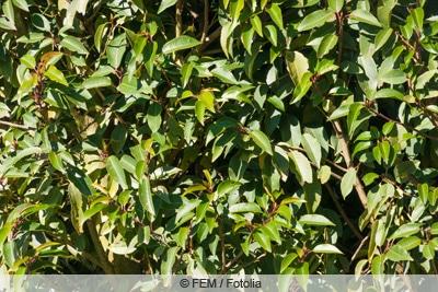 portugiesischer kirschlorbeer prunus lusitanica
