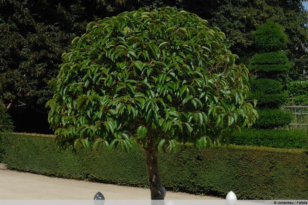 Portugiesischer Kirschlorbeer, Prunus Lusitanica