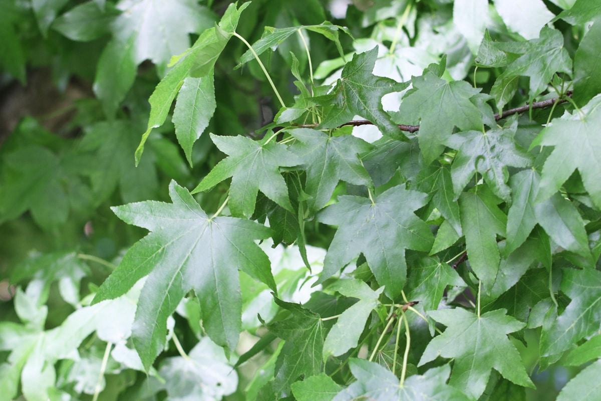 Amerikanischer Amberbaum - Pfahlwurzler