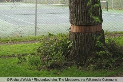 Baum durch Ringelung eingehen lassen