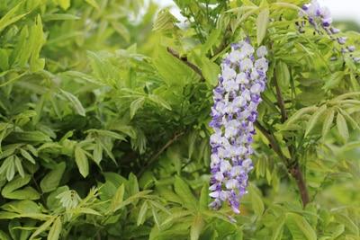 blauregen wisteria glyzinie