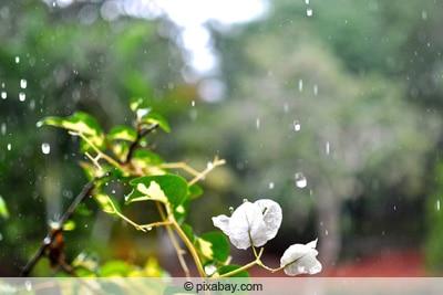 bewässerte bougainvillea