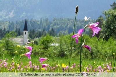 Gladiolus illyricus Illyrischer Siegwurz