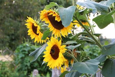 helianthus sonnenblume