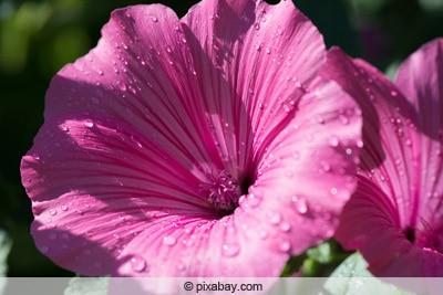 petunie mit nasser blüte