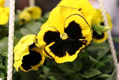 gelb-schwarzes stiefmuetterchen