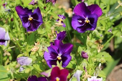 stiefmuetterchen violett