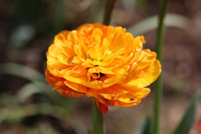 tulipa aga khan tulpe