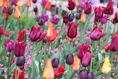 tulipa tulpen