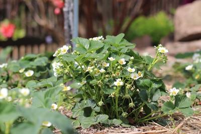 erdbeerenpflanze mit blüten