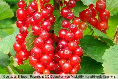 Rote Johannisbeere 'Jonkheer van Tets'