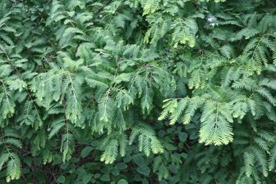 chinesisches rotholz urweltmammutbaum metasequoia glyptostroboides