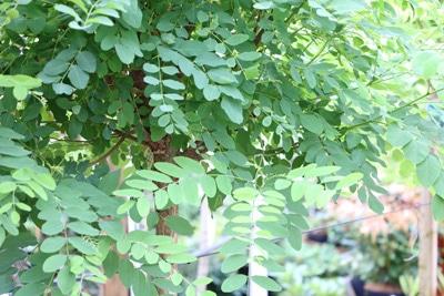 scheinakazie robinia pseudoacacia