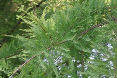 taxodium distichum sumpfzypresse