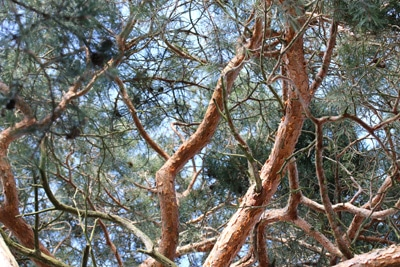waldkiefer pinus sylvestris