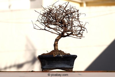 kahler bonsai