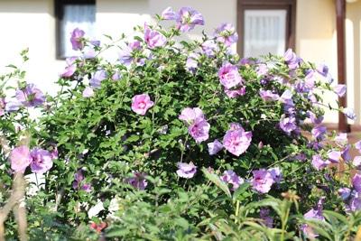 hibiskus hibiscus eibisch