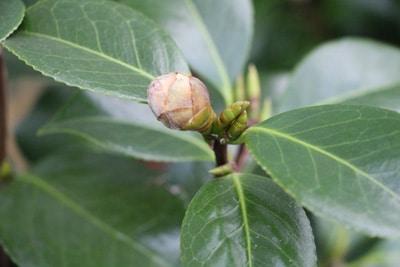 magnolie magnolia officialnis
