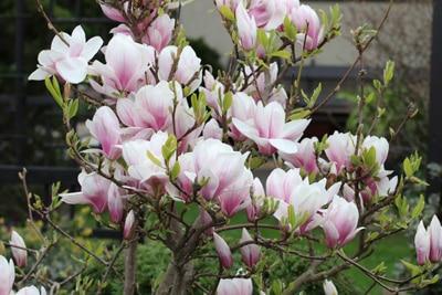 tulpen magnolie magnolia soulangiana