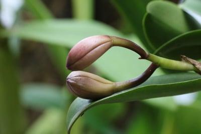Geschlossene Orchideenblueten
