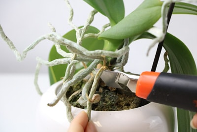 Schneiden eines Orchideentriebs