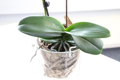 orchidee im glas