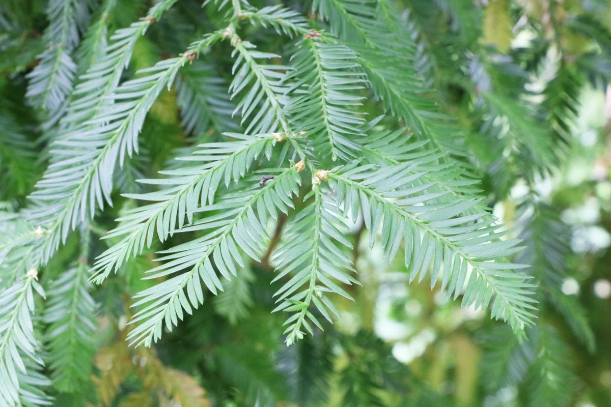 Pfahlwurzler - Mammutbaum