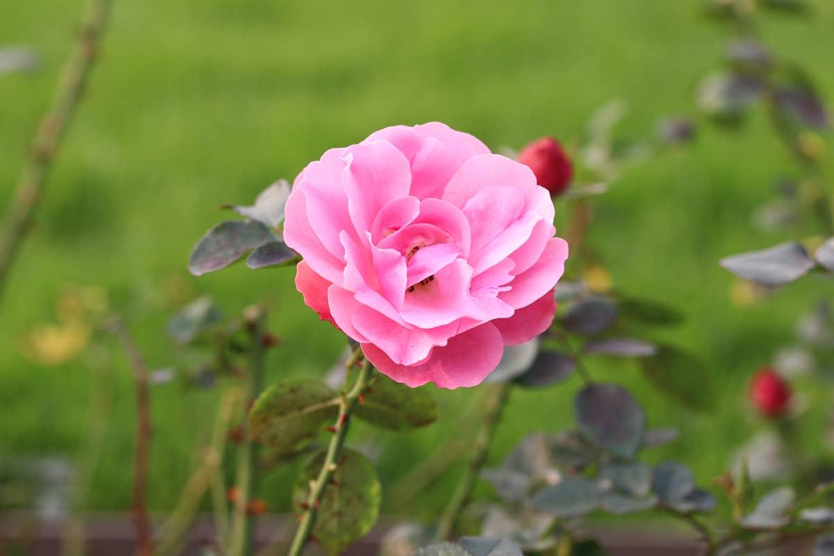Pfahlwurzler - Rose