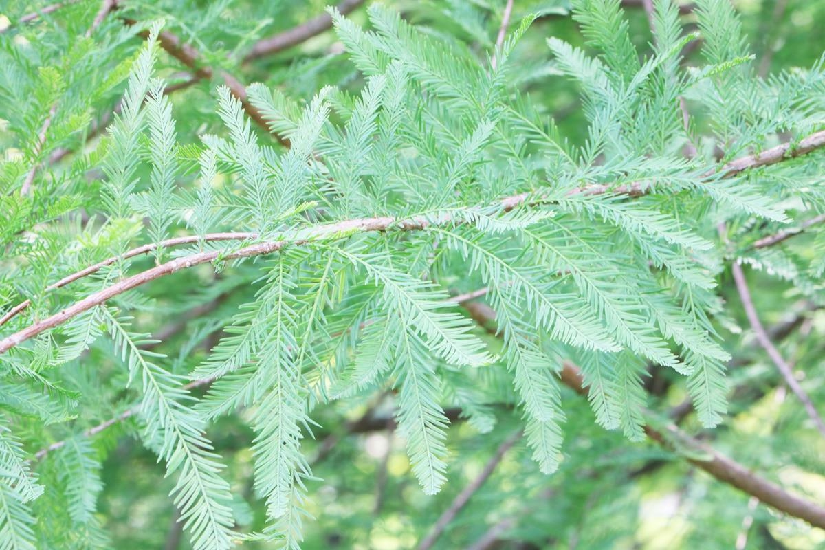 Sumpfzypresse - Taxodium distichum