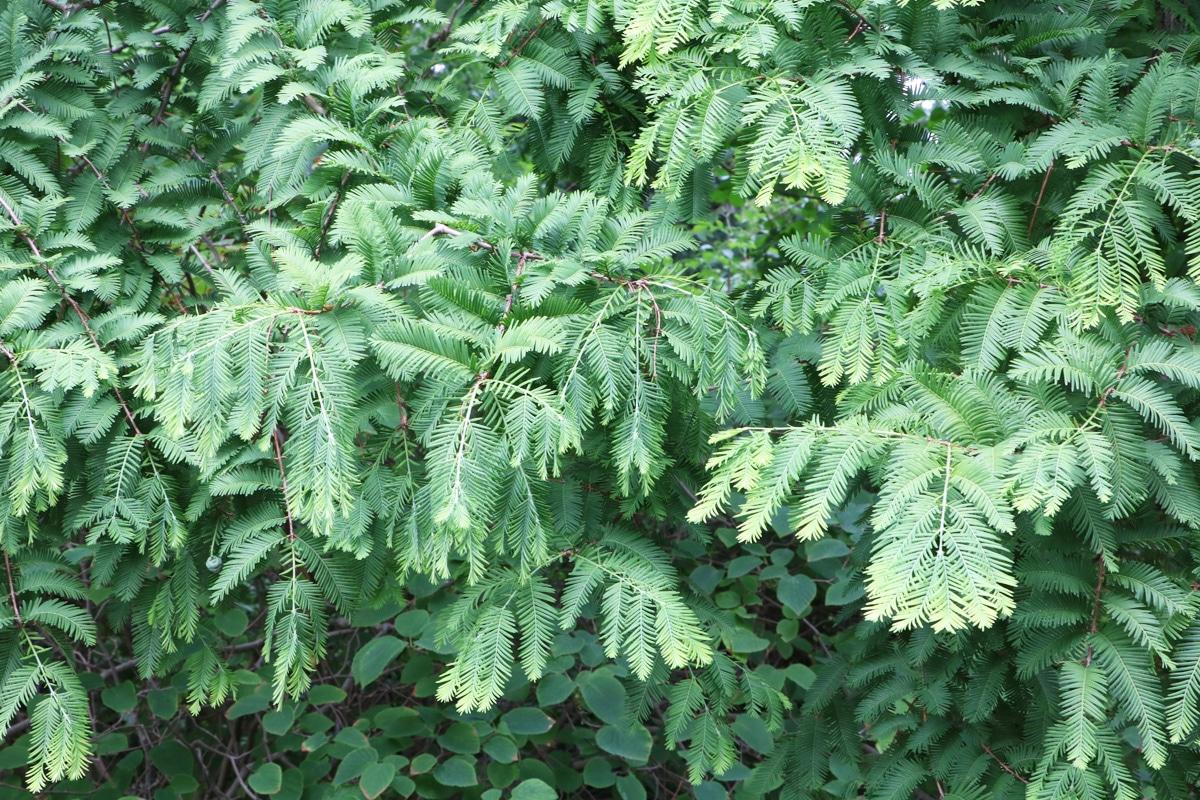 Urweltmammutbaum - Metasequioa glyptostroboides
