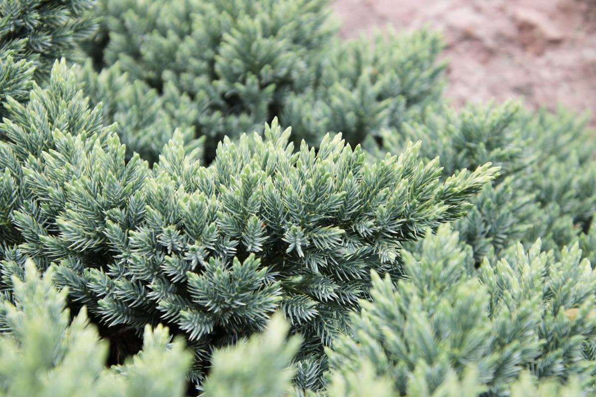 Zwerg-Wacholder - Juniperus squamata 'Blue Star'