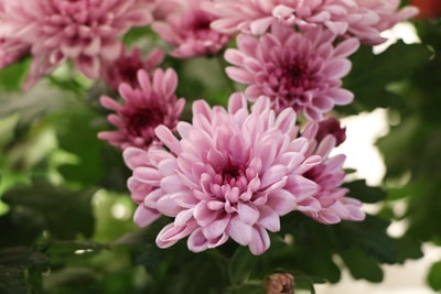 Chrysantheme, Chrysanthemum, winterharte Staude