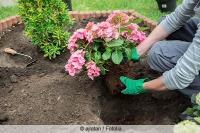 hortensie hydrangea einpflanzen