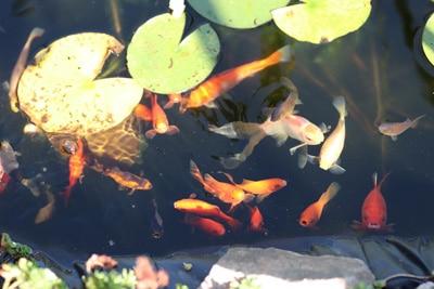 Goldfische - Carassius auratus