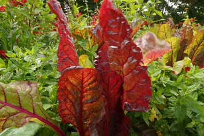 mangoldsorte rhubarb chard