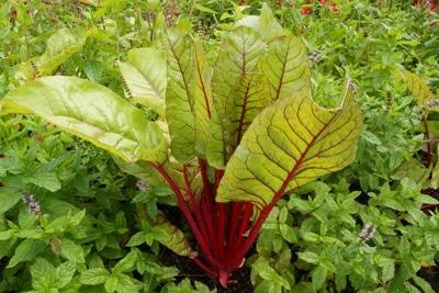 mangold beta vulgaris
