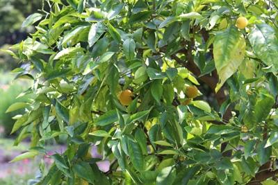citrus limon zitronenbaum