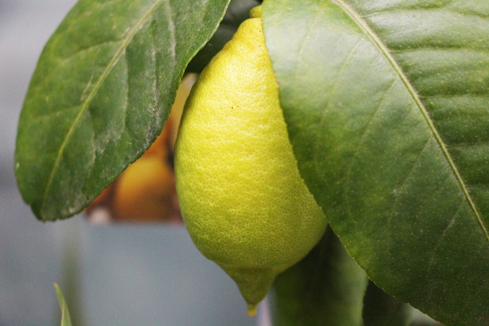 Zitronenbaum mit Frucht