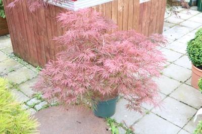 Acer palmatum, Japanischer Fächerahorn, Ahorn-Standort