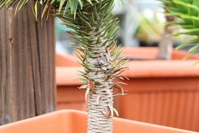 araucaria araucana andentanne
