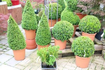 buxus buchsbaum