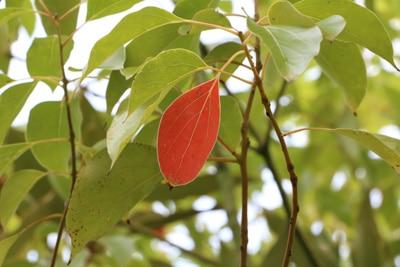 cinnamomum camphora kampferbaum