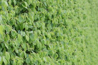 ungiftige heckenpflanzen diese  arten sind