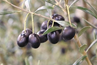 olivenbaum mit schwarzen fruechten