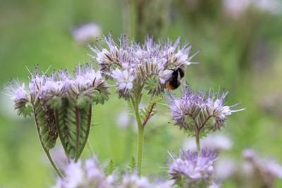 Bienenfreund - Phacelia