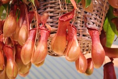 nepenthes kannenpflanzen
