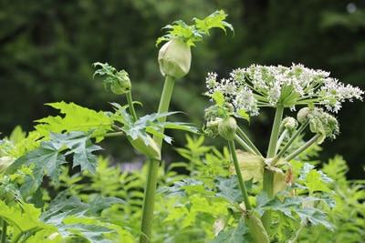 riesen baerenklau heracleum mantegazzianum