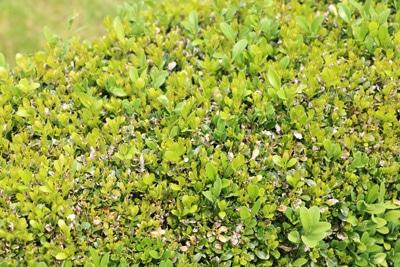 buchsbaum mit verfaerbten blaettern